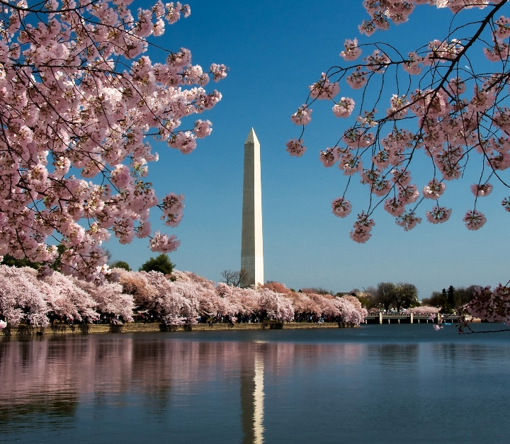 Image shows Washington Monument framed by cherry blossoms in spring.